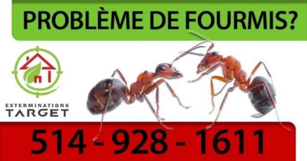 Fourmis charpentieres - montréal-longueil-rive-sud